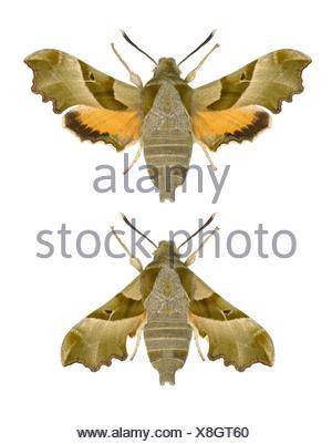 69.012 (1984a) Willowherb Hawk-moth - Proserpinus proserpina - Stock Photo