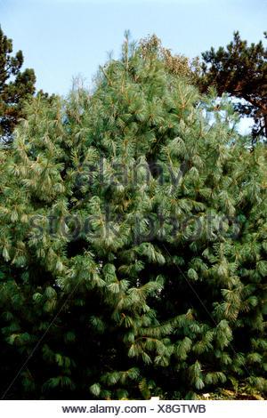 Bhutan Pine, Himalayan Pine (Pinus wallichiana), single tree - Stock Photo