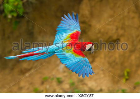 Red-and-green Macaw (Ara chloroptera) flying in Peru. - Stock Photo