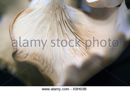 Detail (macro) view of the delicate gills on the underside of an oyster mushroom. - Stock Photo