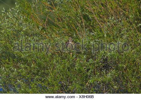 northern goshawk (Accipiter gentilis), in the branchwood of a willow, Germany, Rhineland-Palatinate - Stock Photo