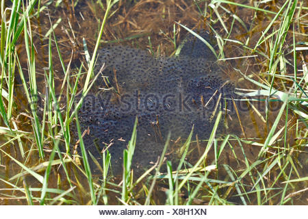 Lump of spawn from the Moor Frog (Rana arvalis), Middle Elbe Biosphere Reserve, Saxony-Anhalt, Germany - Stock Photo