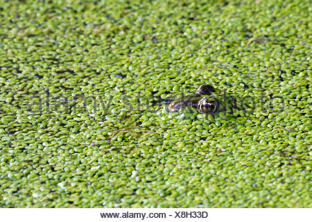 The edible frog (Rana esculenta) duckweed, water, Burgenland, Austria - Stock Photo