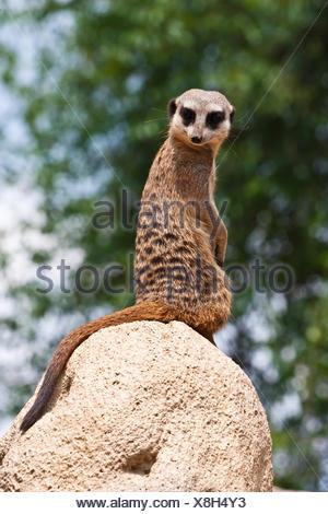 The meerkat or suricate, Suricata suricatta, is a small mammal belonging to the mongoose family. - Stock Photo