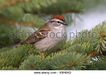 A Chipping Sparrow, Spizella passerina, perched in a spruce tree in Saskatchewan, Canada - Stock Photo