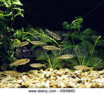 Aquarium with Pearl Danio, brachydanio albolineatus, Leopard Danio,  brachydanio frankei and Zebra Danio Fish, brachydanio rerio - Stock Photo