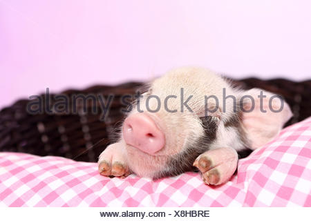 Domestic Pig, Turopolje x ?. Piglet sleeping on pink-checkered pillow in a basket. Studio picture seen against a pink background. Germany - Stock Photo