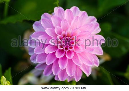 Pink Dahlia (Dahlia sp.), Hesse, Germany, Europe - Stock Photo