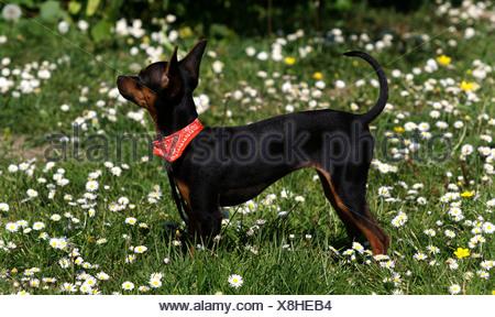 Prazsky krysarik, Prague Ratter (Canis lupus f. familiaris), standing in meadow, side view - Stock Photo