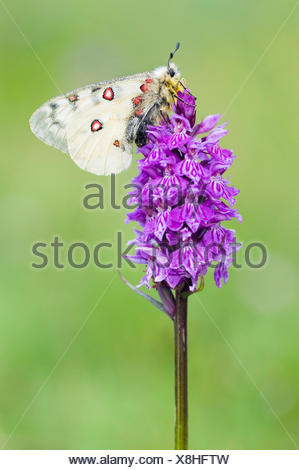 Close-up of a Small Apollo on a Common Spotted Orchid - Stock Photo