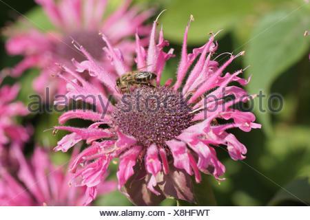 Bee balm - Stock Photo