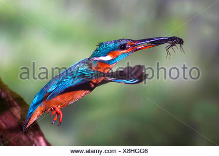 river kingfisher (Alcedo atthis), in flight with insect in its bill, Germany, North Rhine-Westphalia - Stock Photo