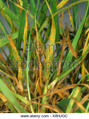 Leaf rust Puccinia poarum infection on lawn meadow grass Poa sp - Stock Photo