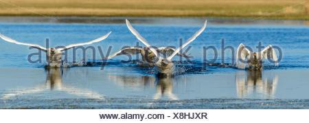 mute swan (Cygnus olor), four mute swans take off a strech of water, Germany, North Rhine-Westphalia - Stock Photo