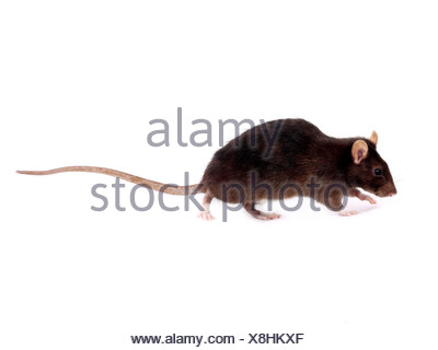 A brown rat sniffing the floor. - Stock Photo