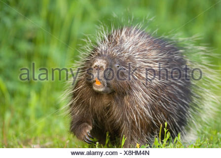 A Porcupine walking in the grass. - Stock Photo