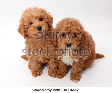 Red Toy labradoodle puppies. - Stock Photo