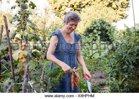 Mature woman gardening, digging up fresh carrots - Stock Photo