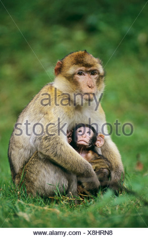Barbary Macaque with cub - sitting on a meadow / Macaca sylvanus - Stock Photo