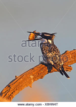 lesser pied kingfisher (Ceryle rudis), sitting on a branch with a fish in the bill, South Africa, North West Province, Pilanesberg National Park - Stock Photo