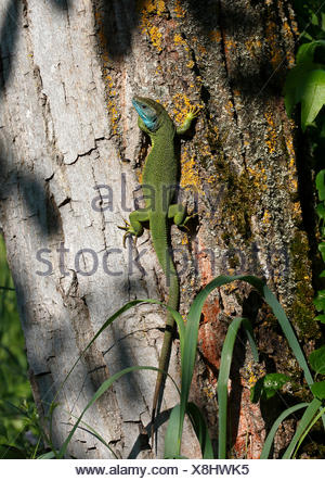 European green lizard (Lacerta viridis) male in mating dress, breeding plumage, basks on a tree trunk - Stock Photo