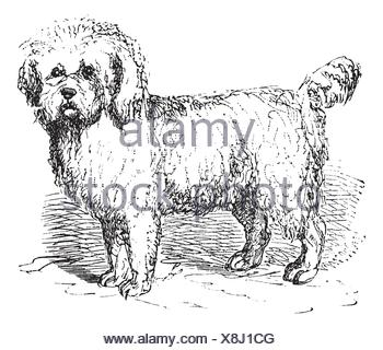 Barbet or Canis lupus familiaris, vintage engraving  Old engraved illustration of a Barbet - Stock Photo
