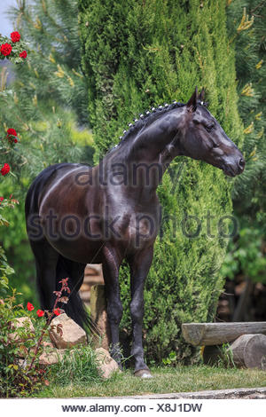 Trakehner Black stallion standing garden mane plaited Germany - Stock Photo
