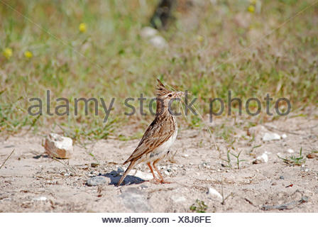 crested lark (Galerida cristata), carrying nest material, Cyprus, Paphos - Stock Photo