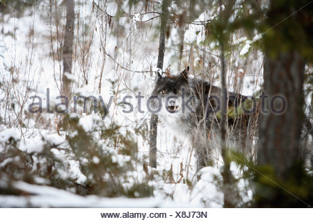 Wolf In The Forest In Winter; Golden, British Columbia, Canada - Stock Photo