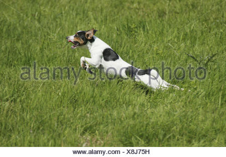 Dog running. Danish Swedish Farmdog. - Stock Photo