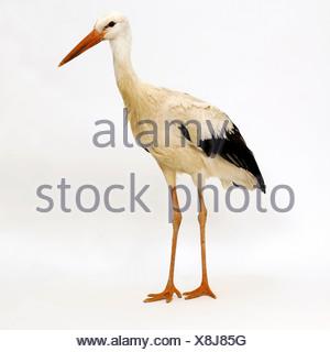 Stork - Stock Photo
