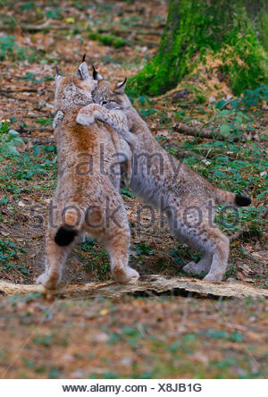 Eurasian lynx (Lynx lynx), pups playing in autumn, Europe - Stock Photo