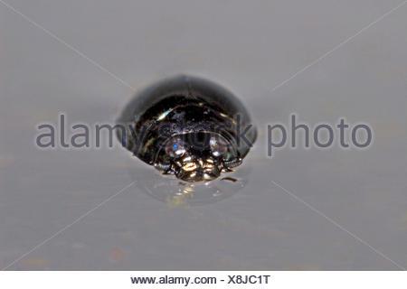 common whirligig beetle (Gyrinus substriatus, Gyrinus natator), on water surface, Germany - Stock Photo