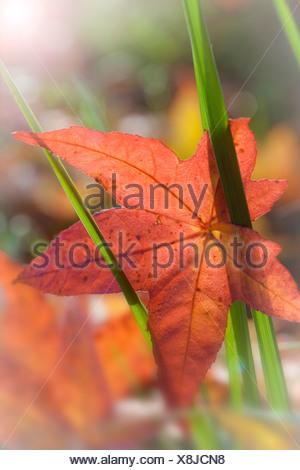 Fallen maple leaf on a plant, Guillemot Cove Nature Reserve, Seabeck, Kitsap County, Washington State, USA - Stock Photo