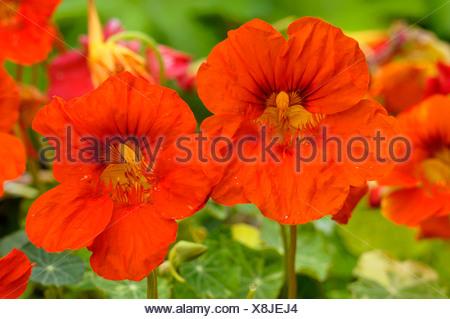 Nasturtium - Stock Photo