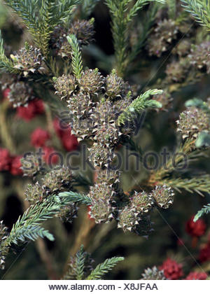 Japanese cedar (Cryptomeria japonica), unmature cones - Stock Photo