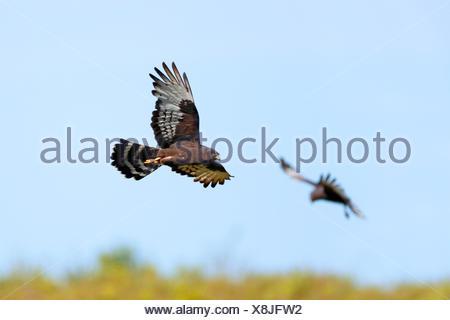 black harrier (Circus maurus), pair flying, South Africa, Western Cape, Bontebok National Park - Stock Photo
