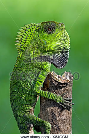 Chameleon crawling up a tree - Stock Photo