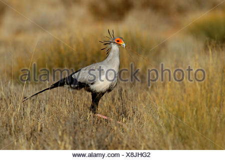 secretary bird, Sagittarius serpentarius (Sagittarius serpentarius), walking through grassland and looks for nesting material , South Africa, Kgalagadi Transfrontier National Park - Stock Photo