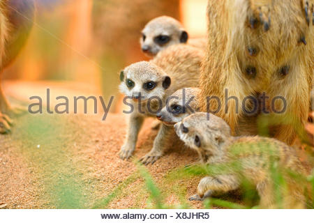suricate, slender-tailed meerkat (Suricata suricatta), pups with mother in zoo under the infrared lamp - Stock Photo