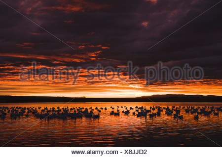Snow Goose (Chen caerulescens), flock at sunrise, Bosque del Apache National Wildlife Refuge , New Mexico, USA, - Stock Photo
