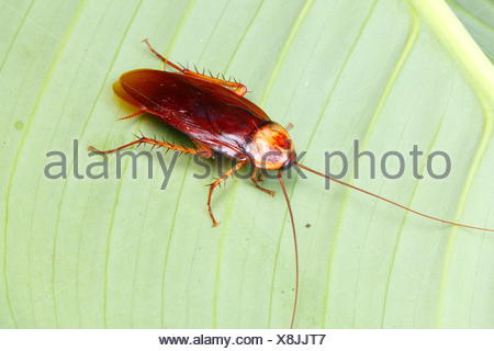 An American cockroach, Periplaneta americana, rests on a leaf. - Stock Photo