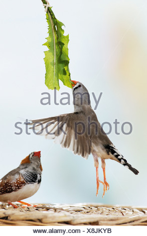 2 Zebra finches eating dandelion / Poephila guttata - Stock Photo
