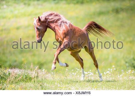 Arabian Horse. Juvenile chestnut stallion leaping on a pasture. Austria - Stock Photo