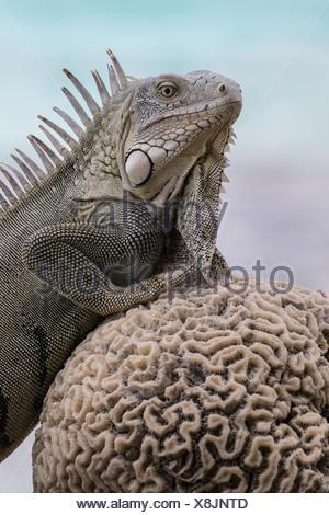 A green iguana, Iguana iguana, rests along the coast of Bonaire on a dried piece of brain coral. - Stock Photo