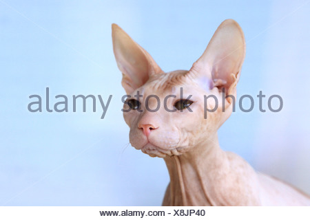 Don Sphynx, Don Hairless. Portrait of adult - Stock Photo