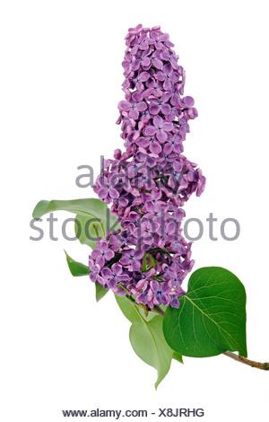 Purple Lilac (Syringa) - Stock Photo
