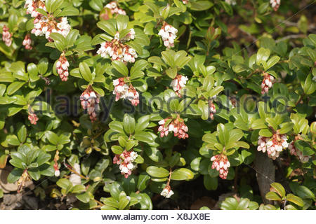 Vaccinium vitis-idea, Lingonberry - Stock Photo