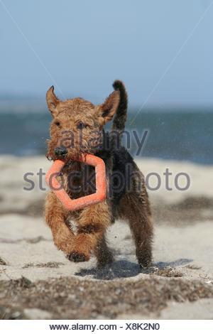 running Welsh Terrier - Stock Photo