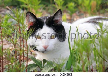 domestic cat, house cat (Felis silvestris f. catus), black and white spotted house cat lying on grass, Germany - Stock Photo